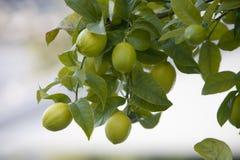 Zitronen auf einem Baum Stockbild