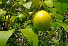 Zitronen, die anfangen zu reifen Lizenzfreies Stockfoto