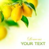 Zitronen, die an einem Zitronenbaum hängen Lizenzfreies Stockfoto
