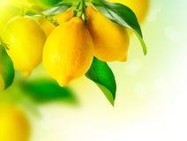 Zitronen, die an einem Zitronenbaum hängen Stockfotografie