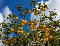 Zitronen, die von einem Baum in einem Lemon Grove hängen Lizenzfreie Stockfotografie