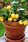 Zitronen in einem Potenziometer Stockfotografie