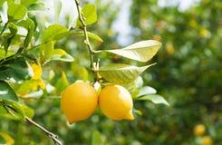 Zitronen im Obstgarten Stockbild