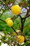 Zitronen im Wachstum Stockfotos