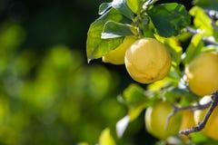 Zitronen in Kalifornien Stockfotos