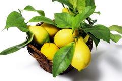 Zitronen mit Blättern Stockbild