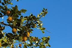 Zitronen von Spanien in Valencia lizenzfreies stockfoto