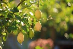 Zitronen, Zitronenbäume Stockfoto