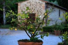 Zitronen, Zitronenbäume, Stockbild