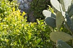 Zitronenanlage mit Kaktusfeigekaktus lizenzfreies stockbild