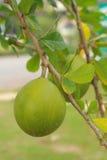 Zitronenbäume Lizenzfreie Stockfotos