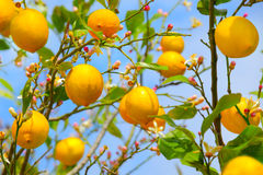 Zitronenbaum Stockbilder