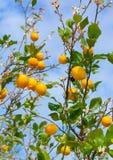 Zitronenbaum Stockbild