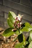 Zitronenbaum-Blumen-Knospen lizenzfreies stockfoto