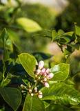 Zitronenbaum-Blumen-Knospen Bokeh lizenzfreies stockfoto