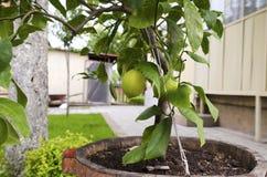 Zitronenbaum in einem Topf Stockbild