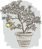 Zitronenbaum im Blumentopf Stockbild