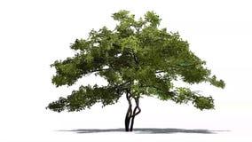 Zitronenbaum im starken Wind