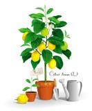 Zitronenbaum im Topf Stockbilder