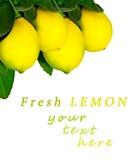 Zitronenbaum. Lokalisiert. Stockbilder