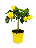 Zitronenbaum. Lokalisiert. Lizenzfreie Stockfotografie