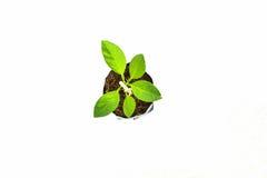 Zitronenbaum lokalisiert stockfoto