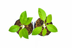 Zitronenbaum lokalisiert lizenzfreie stockfotos