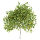 Zitronenbaum mit den Zitronen lokalisiert auf Weiß Lizenzfreies Stockfoto
