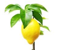 Zitronenbaum mit Frucht Lizenzfreies Stockfoto