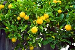 Zitronenbaum mit Zitronen Stockbilder