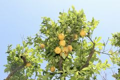 Zitronenbaum Sorrent in Italien stockbild