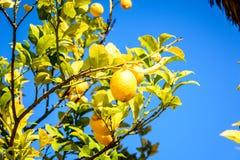Zitronenbaum und blauer Himmel Stockbild