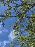 Zitronenbaumblätter mit blauem Himmel Stockfotografie