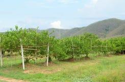 Zitronenbaumplantagen stockfoto