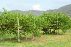 Zitronenbaumplantagen lizenzfreie stockfotos