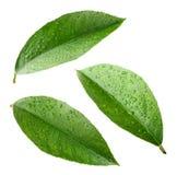 Zitronenblätter mit Tropfen lokalisiert auf Weiß Stockbild