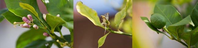 Zitronenblume und Fruchtcollage Stockfotografie
