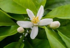 Zitronenblumen Stockbilder