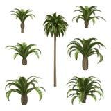 Zitronengelbe Datum Palmen Stockbilder