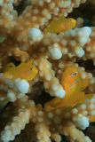 Zitronengelbe korallenrote Gobies Lizenzfreie Stockfotos