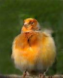 Zitronengelber Vogel Lizenzfreie Stockbilder