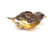 Ein Kanarienvogel Lizenzfreies Stockbild