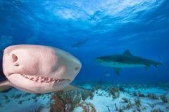 Zitronenhai, Bahamas stockfotos
