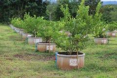 Zitronenplantage lizenzfreie stockfotografie