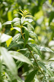 Zitronenverbene benutzt für Duft und Aroma im Garten lizenzfreies stockbild