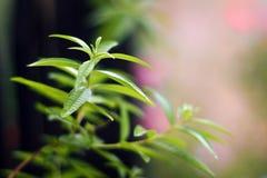 Zitronenverbene (Lippia-citrodora) Stockfotos