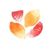 Zitrusfrüchte geschnitten und ganze Zitronen und Pampelmusenaquarellhandskizze vektor abbildung