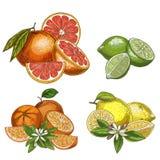 Zitrusfrüchte mit Hälften und Blumen Zitrone, Kalk, Pampelmuse, orange lizenzfreie abbildung
