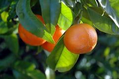 Zitrusfrucht auf dem Baum Stockbild