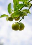 Zitrusfrucht im Himmel Lizenzfreie Stockfotos